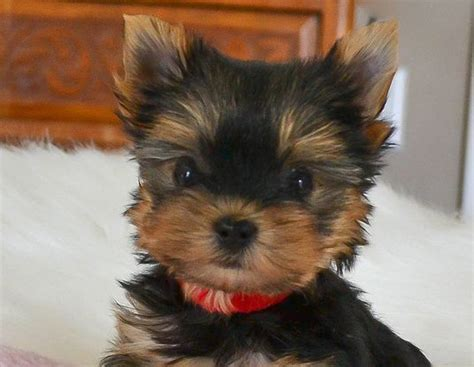 yorkie puppies for free in utah 25 best ideas about parti yorkies for sale on yorkie dogs for sale