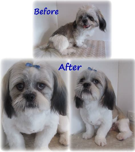 shih tzu show grooming willow and moo grooming and pet products in robina qld pet groomers truelocal