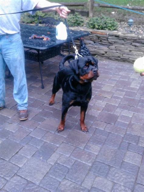 german rottweiler compared to american rottweiler what is the difference between the german rottweiler and the american rottweiler