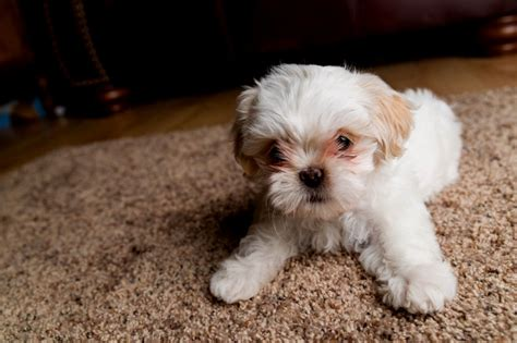 best way to potty a shih tzu puppy shih tzus puppies puppy