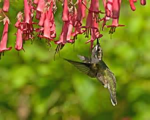 phygelius cherry ripe hummingbird s cape fuchsia feeder