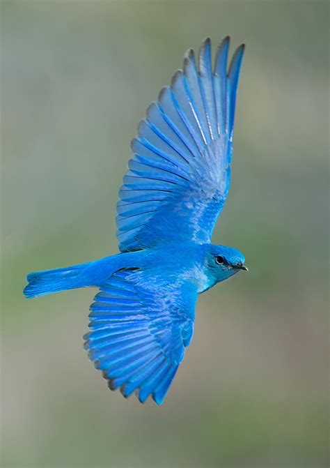 mountain bluebird found in north west america doesn t