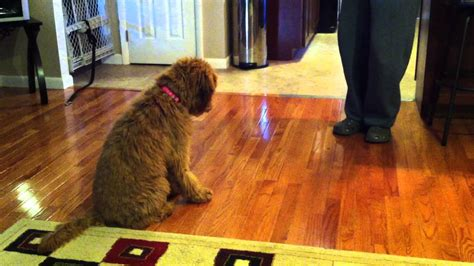 goldendoodle puppy tricks a minute of goldendoodle puppy tricks