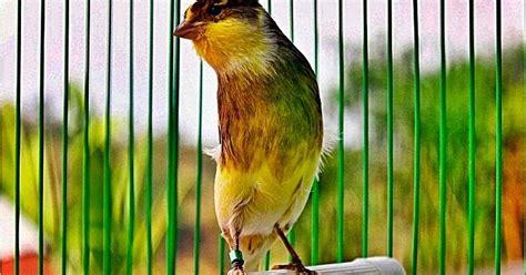 Cara Untuk Aborsi Madiun Madiun Kicau Mania Cara Merawat Burung Kenari Agar Gacor