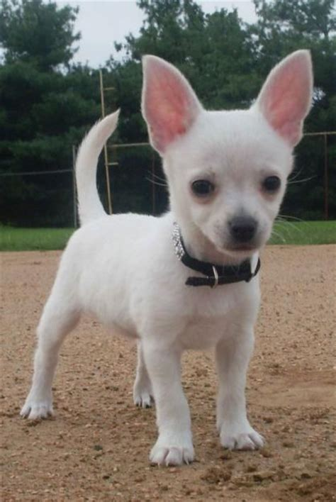 white chihuahua puppies for sale 25 best white chihuahua ideas on chihuahua dogs chihuahua puppies and