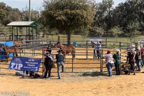 blm mustang adoption requirements blm tip trained mustang adoption event florida