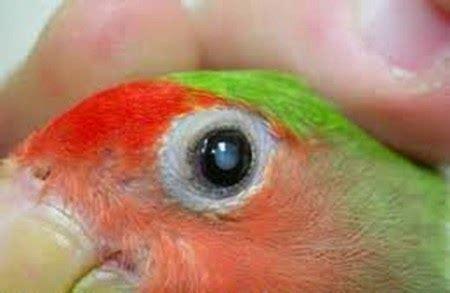 Obat Herbal Katarak Pada Burung obat katarak netes pada mata burung cuit cuit
