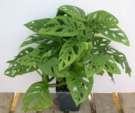 Monstera Pot Dan Daun Hijau tanaman swiss cheese philodendron bibitbunga
