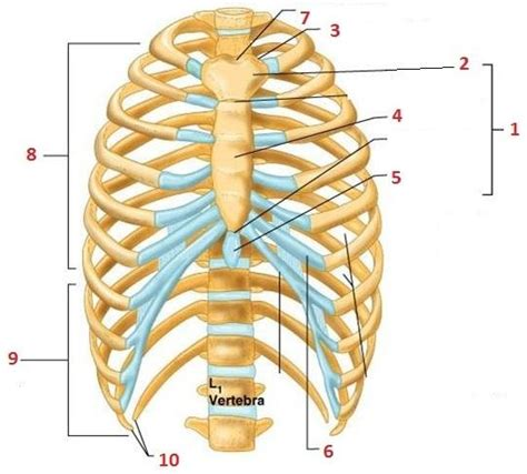 diagram rib cage antphy 1 study guide 2011 12 sturges instructor
