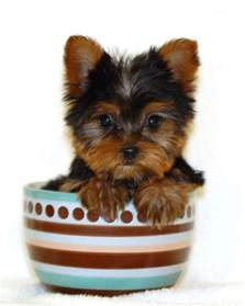 hair cut for tea cup yorkies toy yorkie haircuts newhairstylesformen2014 com