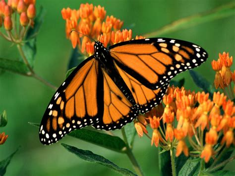 The Monarch Butterfly monarch butterfly wallpaper amazing wallpapers