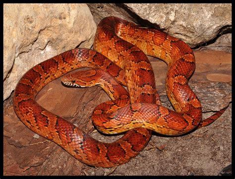 Common Backyard Rodents Red Rat Snake Corn Snake Florida Backyard Snakes