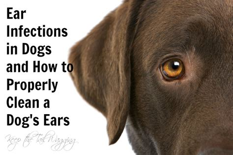 chronic ear infections in dogs how to cure a yeast infection in a s ear best yeast infection tips
