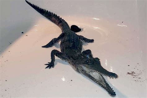 Crocodile Aron one of two missing sydney crocodiles is found by family on