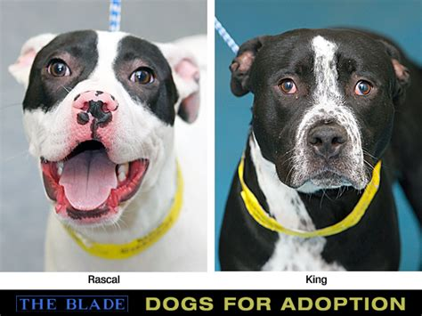 puppies for adoption toledo ohio dogs for adoption 5 11 2013 the blade