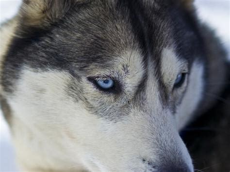 wolf husky puppies with blue eyes image gallery husky blue eyed wolf