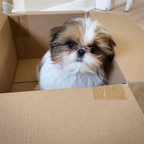 puppies in a box shih tzu best 25 shih tzu ideas on