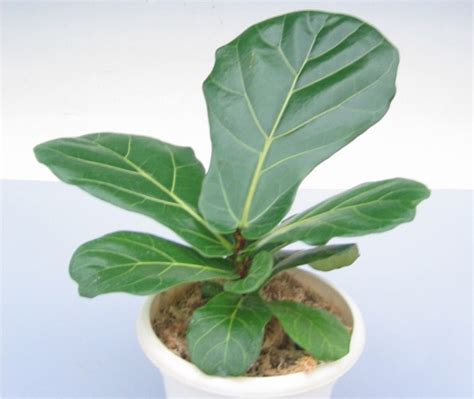 fiddle leaf fig ficus lyrata fiddle leaf fig sunshine horticulture