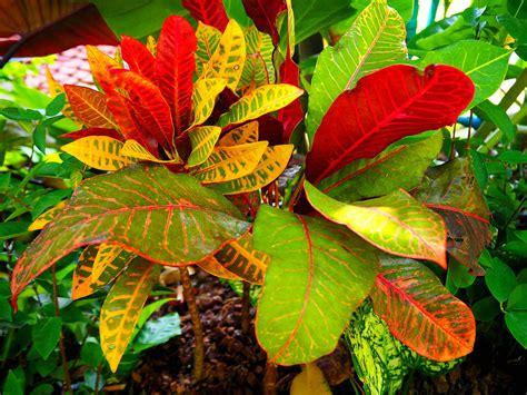colorful plants colorful croton plant colorful croton plant colorful