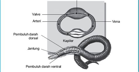 Cacing Jurnal sistem sirkulasi darah pada cacing tanah perpustakaan cyber