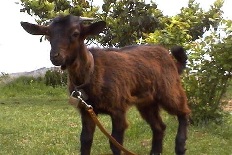 de cabras im 225 genes mundo animal cabra