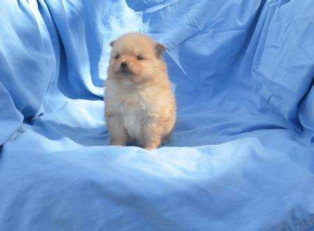 pomeranian breeders brisbane 61 best images about pomeranian puppies on puppys pomeranian and