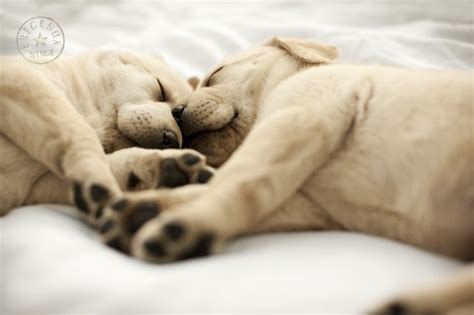 animal in bed pets animals labrador puppies sleeping on bed stock photography erickson stock