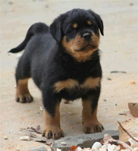 rottweiler puppies tails awe rottweiler puppy with the rottweiler dogs the