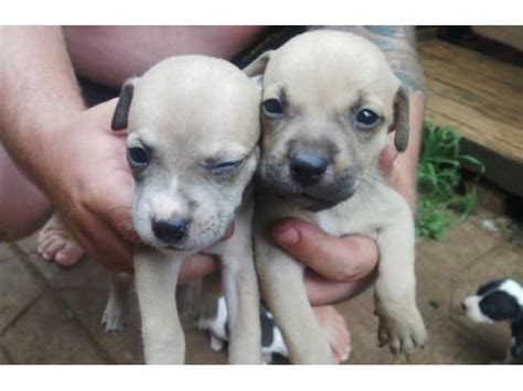 amstaff puppies for sale american staffordshire terrier staffie puppies for sale pretoria tshwane puppies