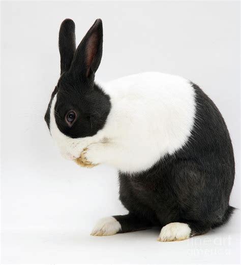 Washing A Duvet Black Dutch Rabbit Photograph By Jane Burton