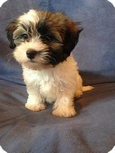 havanese st louis 1000 images about look at this on bernese mountain mix