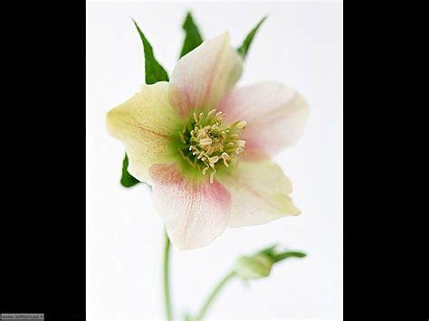 foto di fiori stupendi foto fiori singoli per sfondi settemuse it