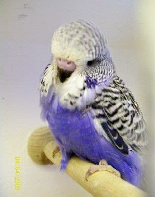 Buys A Parakeet by Buy Bred Budgies Budgies And Babies