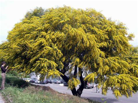 Different Names Of Green by Acacia Saligna Port Jackson Wattle Factsheet Invasoras Pt