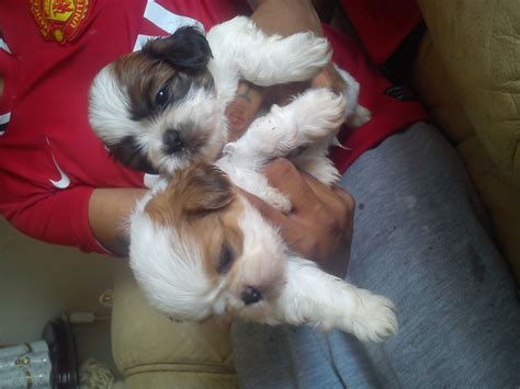 breed shih tzu puppies for sale breed shih tzu puppies for sale orpington kent pets4homes