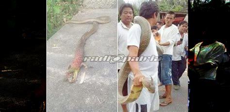 film ular betina geger ular bertanduk dan berkaki ditangkap di ponorogo