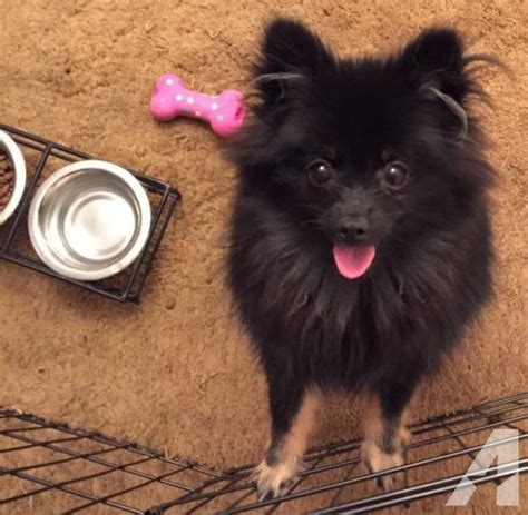 doll pomeranian adorable pomeranian puppy with doll for sale in fort worth