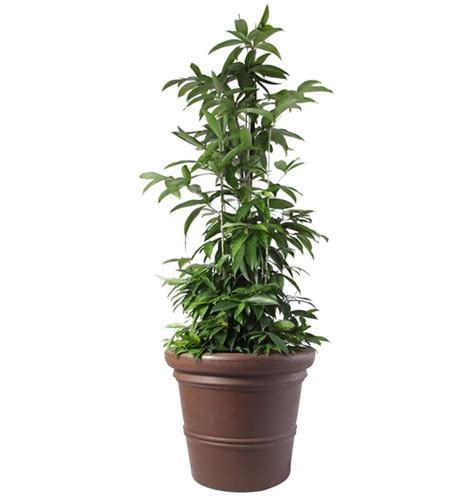 indoor japanese plants indoor japanese plants japanese bamboo supplier malaysia