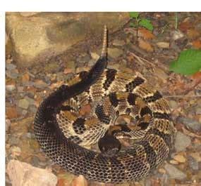 poisonous snakes bluestone national scenic river