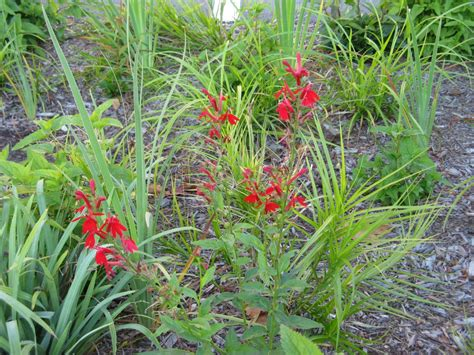 friesner herbarium blog about indiana plants timely