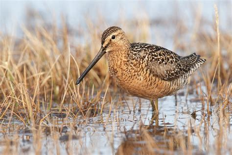 long billed dowitcher audubon field guide
