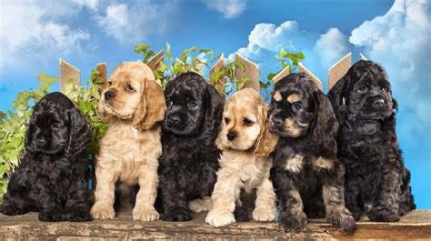 how much are cocker spaniel puppies cocker spaniel puppies available in tucson az