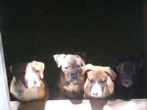 puppies for sale in salisbury md american pit bull terrier puppies for sale