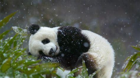 wallpaper android panda panda and snowfall wallpaper android wallpaper wallpaperlepi