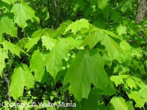 maple tree droopy leaves black maple acer nigrum ontario trees and shrubs