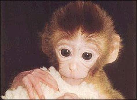 Gorilla Clone Dengan Embos 1 1 lancien sortir de la tristesse cowblog