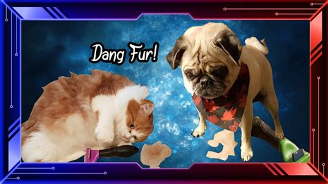 do pugs shed a lot do maine coon mixes and pugs shed funnycat tv