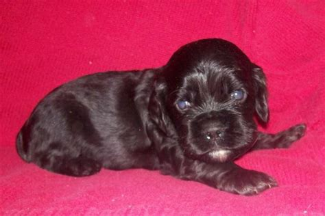 cocker spaniel puppies for sale in ky boys cocker spaniels puppies for sale adoption from mt vernon kentucky adpost
