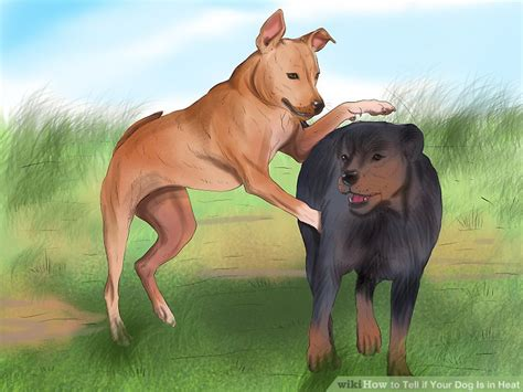 how to your to behave around other dogs 4 ways to tell if your is in heat wikihow