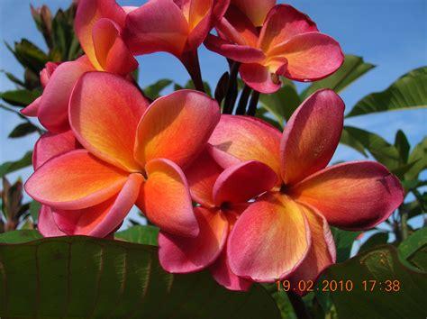 Bunga Plumeria Frangipani Pink Marine plumeria